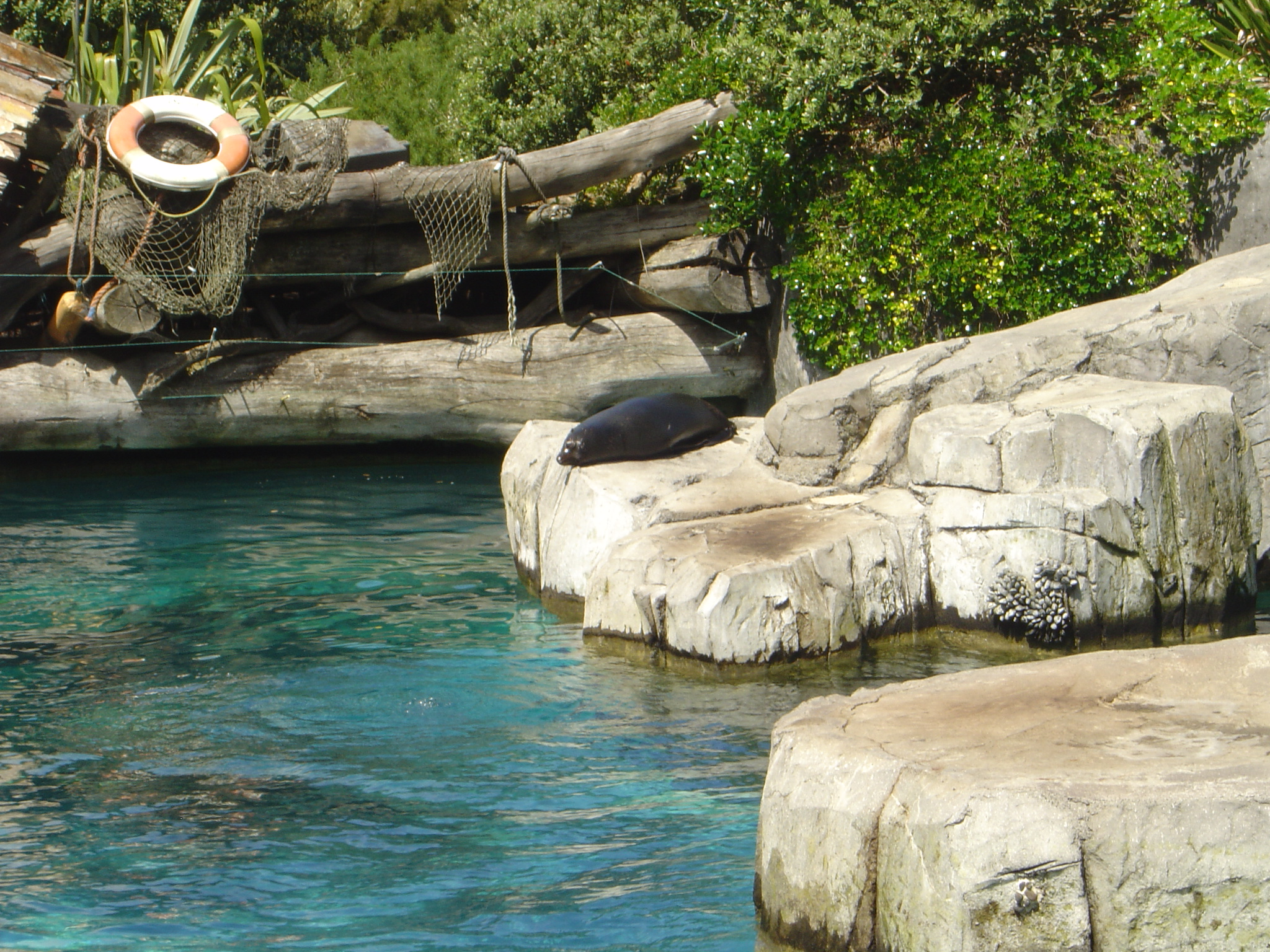New_Zealand_Fur_Seal_Auckland_Zoo