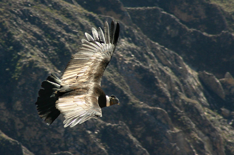 Condor_flying_over_the_Colca_canyon_in_Peru